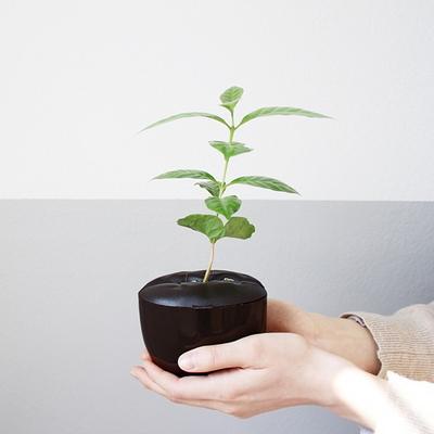 coffeepot 애완커피나무 모종 Kit