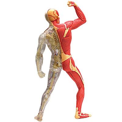 인체모형(근육스켈레톤) 4D퍼즐