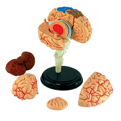 인체모형(뇌모형) 4D퍼즐