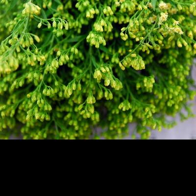 꽃보듬 솔리다스터 (소)