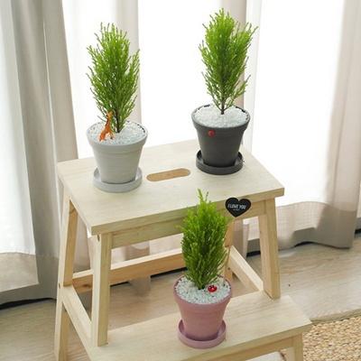 미니 소형 율마 실내공기정화식물 외목대