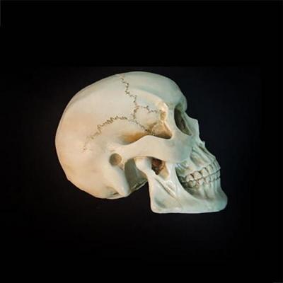 해골 모형 (두개골)