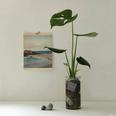 [plant] 공기정화식물 - 몬스테라 수경재배세트