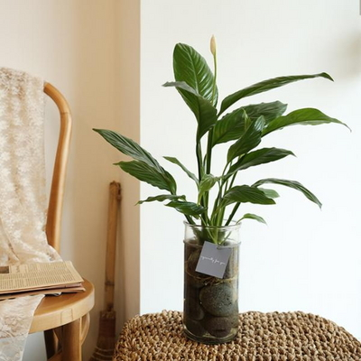 [plant] 공기정화식물 - 스파티필름 수경재배세트