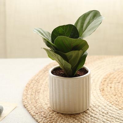[plant] 떡갈고무나무 식물화분set