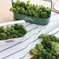천연이끼 공기정화 식물 스칸디아모스 단품 25g
