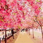 B389 벚꽃나무 DIY명화 그리기