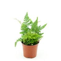 (수경재배식물) 후마타_넉줄고사리