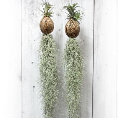 공기정화식물-코코넛수염틸란드시아