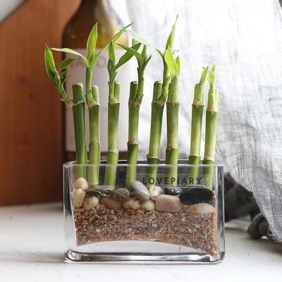 미니사각유리화분에 담긴 개운죽 수경식물 천연가습기