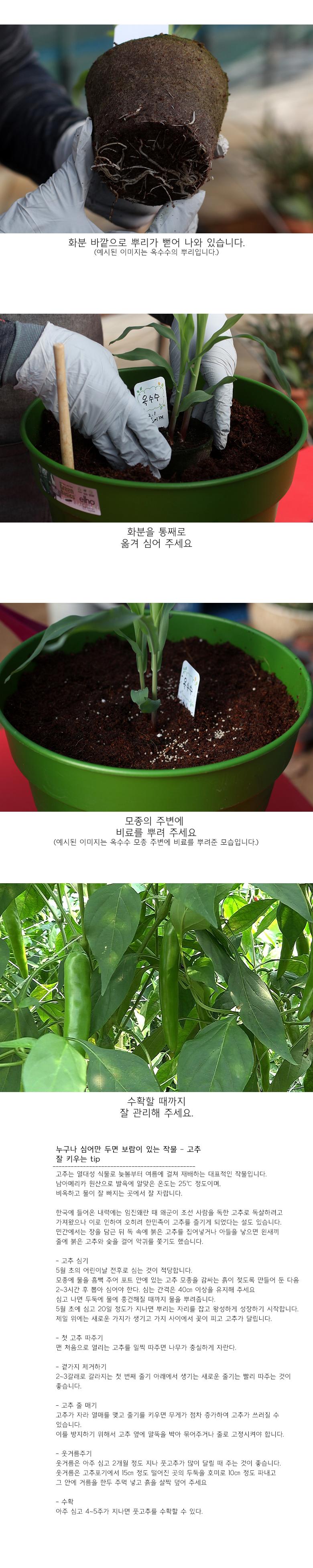 팜팜농장_고추 모종키우기 - 틔움세상, 3,000원, 새싹/모종키우기, 새싹 키우기