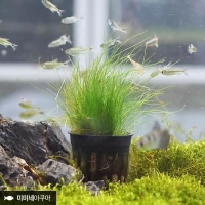 헤어글라스 1포트-(중후경수초 포트수초 잔디밭수초)