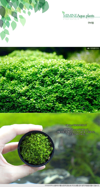 쿠바펄 1포트 - (포트수초 전경수초 예쁜수초) - 미미네아쿠아, 6,500원, 장식품, 수초