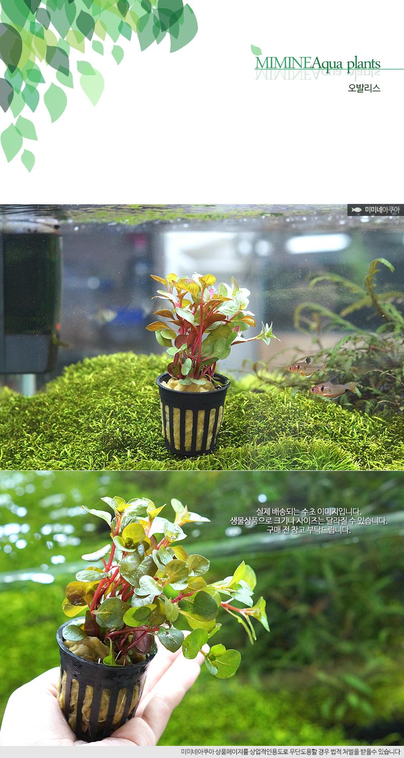 루드위지아 오발리스 1포트 - (쉬운수초 예쁜수초) - 미미네아쿠아, 6,000원, 장식품, 수초