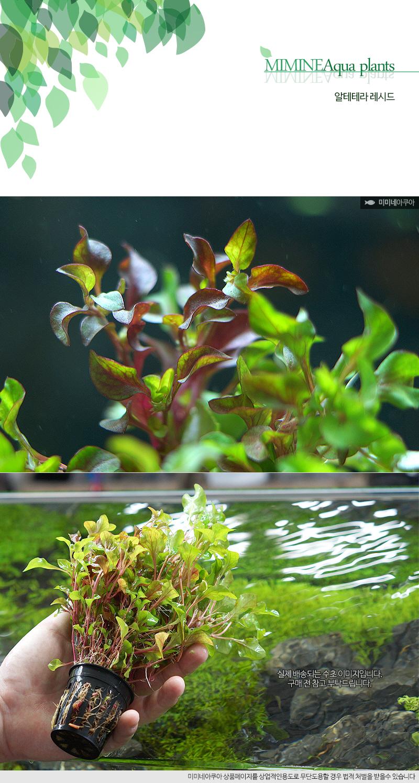 알테란테라 레시드 1포트 - (예쁜수초 초보수초) - 미미네아쿠아, 6,500원, 장식품, 수초