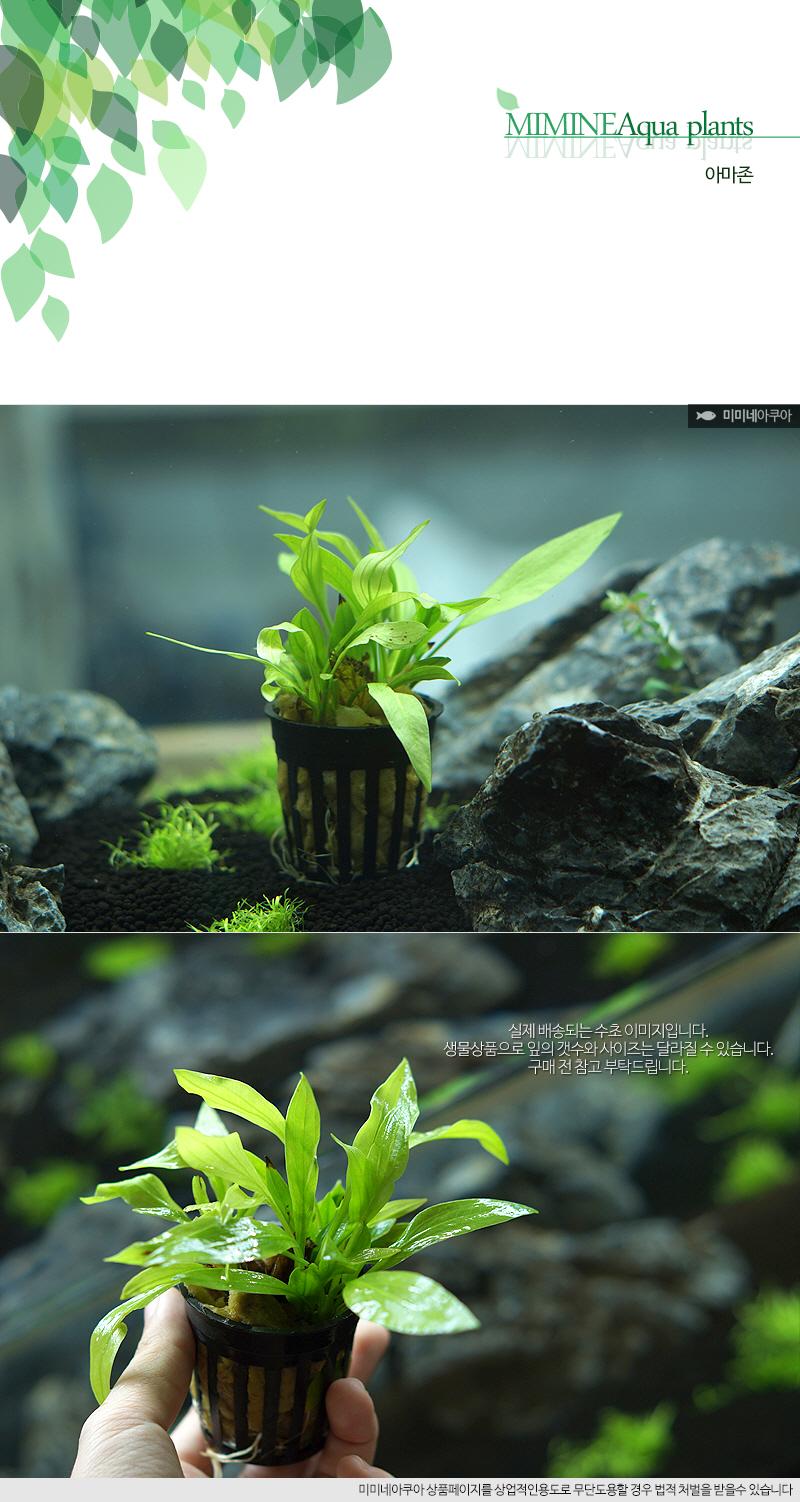 아마존 1포트 - (포트수초 초보수초 예쁜수초) - 미미네아쿠아, 5,000원, 장식품, 수초