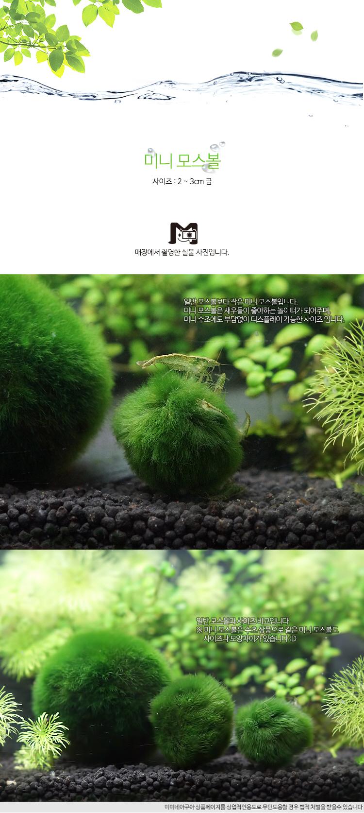 미니 모스볼 (2~3cm) - (마리모 어항수초) - 미미네아쿠아, 3,000원, 장식품, 수초