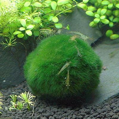(특가)모스볼 (5~8cm) - (마리모 어항수초)