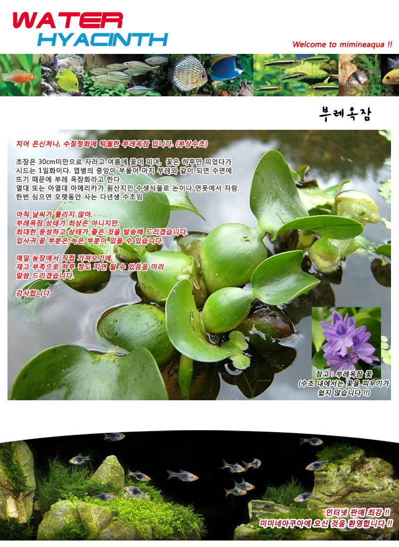 부레옥잠 3뿌리 (부상수초) - (치어은신처 수반) - 미미네아쿠아, 3,000원, 장식품, 수초