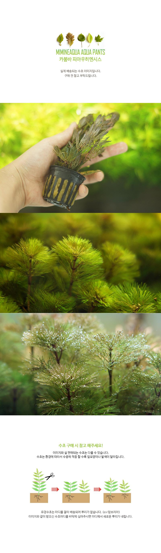 카붐바 피아우히엔시스 1포트 - 미미네아쿠아, 6,500원, 장식품, 수초