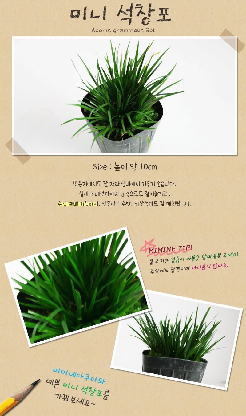 미니 석창포 * 2포트  - (수생 수중 수경재배식물) - 미미네아쿠아, 5,000원, 장식품, 수초