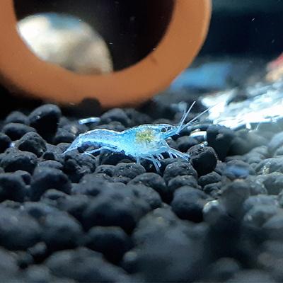 미스테리(마블) 블루가재 1~1.5cm 1마리