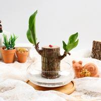 행운목 수경재배 키우기 세트 공기정화식물 천연가습