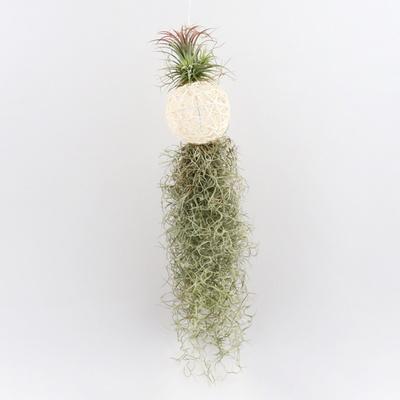 미미네가든 흰볼 수염 틸란드시아 (공기정화식물)