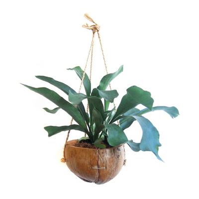 트로피칼 칵테일-박쥐란 천연코코넛 행잉화분