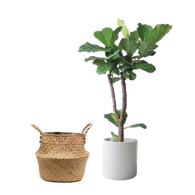 Home-중대형 떡갈고무나무+해초바구니