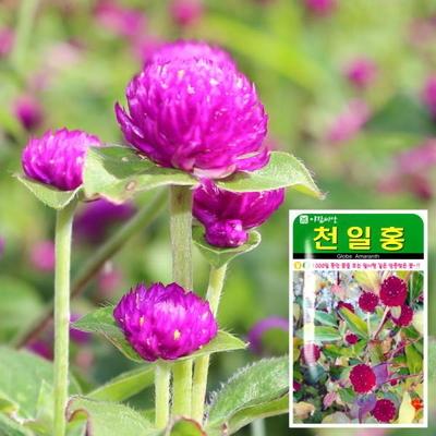 천일홍 씨앗 (100립)  꽃씨앗 허브씨앗 야생화 허브