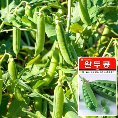 완두콩 씨앗 (100립)