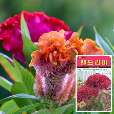 맨드라미 씨앗 (1000립)  꽃씨앗 해바라기꽃씨앗